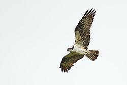 Ospreys_09.jpg