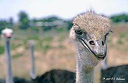 Ostrich-Close-Up-PPW.jpg