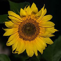 Our_Sunflower-13.jpg
