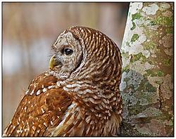 Owl6.jpg