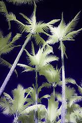 PALM_TREES2.jpg