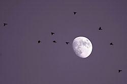 PASSING_BIRDS_RISING_MOON.jpg