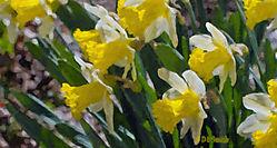 Painted_Daffodils.jpg