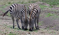 Pair_of_Zebras_1_of_1_.jpg