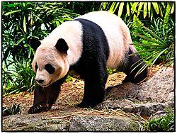 Panda_2_.jpg