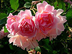 Patio_Rose_June_07.JPG