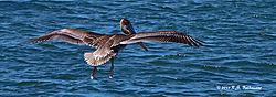 Pelican-In-Flight-CA-Central-Coast-PPW.jpg