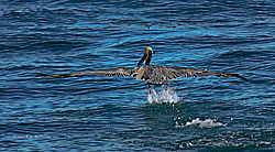 Pelican-Takes-Off-From-Monterey-Bay_PPW.jpg