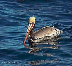 Pelican-in-Monterey-Bay_PPW.jpg
