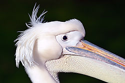 Pelican14.jpg