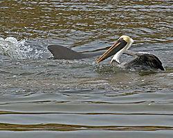 Pelican_Dolphin.jpg