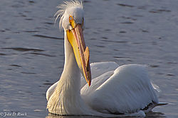 Pelicans_at_Lock_and_Dam_14_Nikonian_11.jpg
