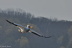 Pelicans_at_Lock_and_Dam_14_Nikonian_23.jpg