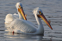 Pelicans_at_Lock_and_Dam_14_Nikonian_24.jpg