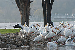 Pelicans_at_Lock_and_Dam_14_Nikonian_4.jpg