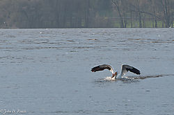 Pelicans_at_Lock_and_Dam_14_Nikonian_6.jpg