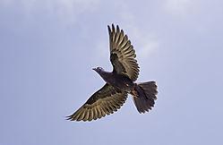 Pigeon_in_Flight_1012.jpg