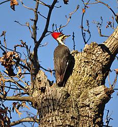 Pileated_Woodpecker_in_yard.jpg
