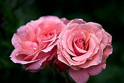 Pink-Perfume.jpg