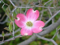 Pink_Dogwood2.jpg