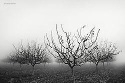 Pistachio_Orchard_in_Fog_2_San_Joaquin_Valley_copy.jpg