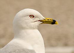 Portrait_of_a_Gull.jpg