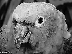 Portrait_of_a_Parrot.jpg