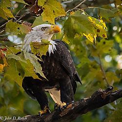 Proud_Eagle-11.jpg