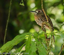 Puffer_bird_female_Corcovado.jpg