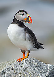 Puffin-Looking-Back_72x1200_.jpg