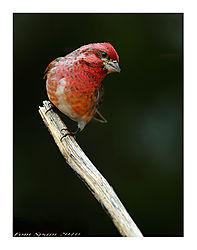 Purple-Finch_Carpodacus-purpureus_.jpg