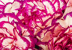 Purple_Trimmed_Carnations.jpg