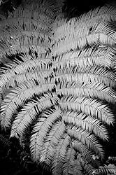 RAIN_FOREST_FERN.JPG