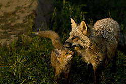 RED_FOX0090pwrpt.jpg