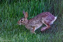Rabbit_in_the_Grass-2.jpg