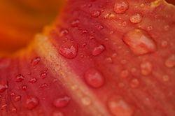 Rain_on_Flower_2.JPG