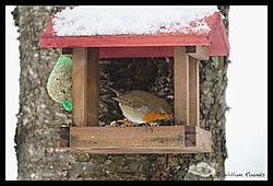 Rambouillet_Snow_Bird_11-1.jpg