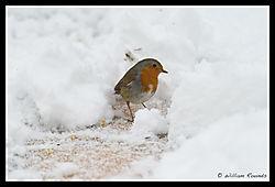 Rambouillet_Snow_Bird_14-1.jpg