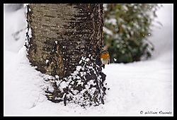 Rambouillet_Snow_Bird_2-1.jpg