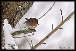 Rambouillet_Snow_Bird_3-1.jpg