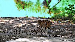Reclining-Cheetah_180621_114920_NLT8380_01.jpg