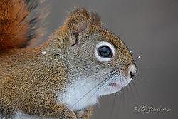 Red-Squirrel-Portrait-1-30-16-_-Nik.jpg