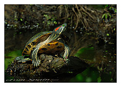 Red-earred-Slider.jpg