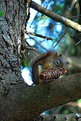 RedSquirrel16x8.jpg