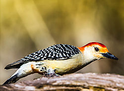 Red_Bellied_Woodpecker2.jpg