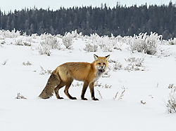 Red_Fox_in_Yellowstone_NIK.jpg