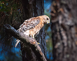 Red_Shouldered_Hawk_-_Eye_Contact_2_.jpg
