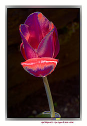 Red_Tulip_ReColored_4075.JPG