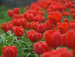 Red_tulips1.jpg
