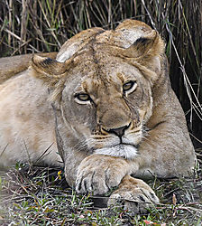 Resting_Lion1.jpg